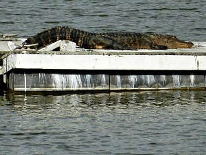 Alligator Sunning on an old ramp
