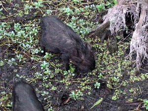 Two baby boars rooting for food around tree roots
