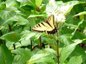 Eastern Swallowtail Butterfly Gathering Nectar from Pond Apple