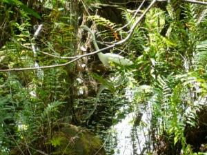Giant Egret Strolling Through a Hammock