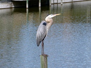 Great Blue Heron Perched on a Post