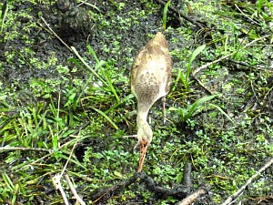 Juvenile white ibis feeding in the swamp