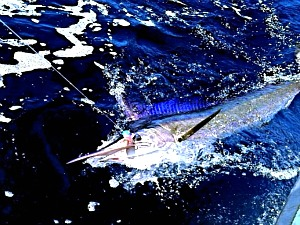Rare short bill spearfish caught by Captain Billy Wickers III