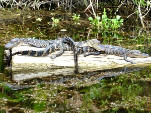 Three Juvenile Alligators Lying on each other in the sun