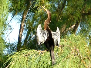 Male Anhinga Spreads His Wings to Dry Off