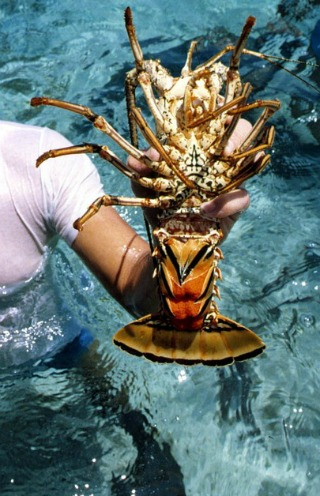 Lobster Fishing, Where & How To Go Florida Keys Lobster Hunting