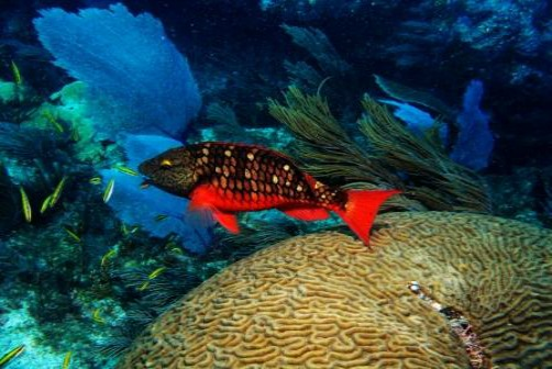 Spectacularly red stoplight parrotfish live amid the coral reefs