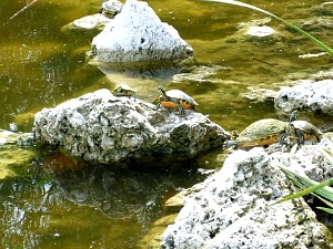 Turtles Sunning on Rocks at Everglades National Park