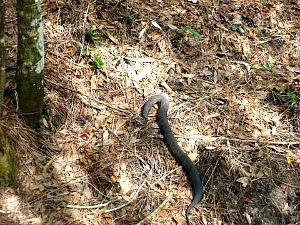 Water Moccasin Slithering Through A Florida Keys hammock