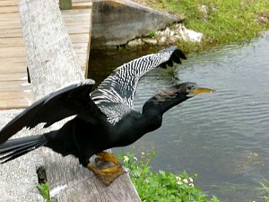 Webfooted Male Anhinga Preparing to Take FLight