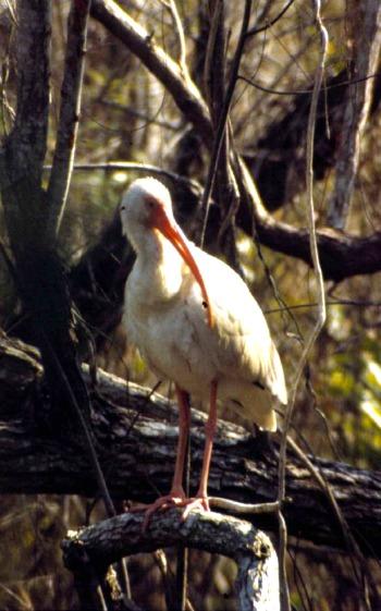 Ibis At Everglades