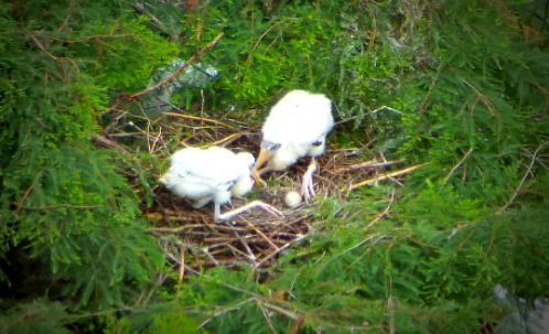 Wood Stork Chicks With Egg in Nest
