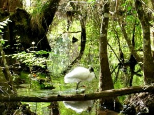 Wood stork searching for food in a pond