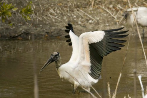 Wood Stork Spreads its wings