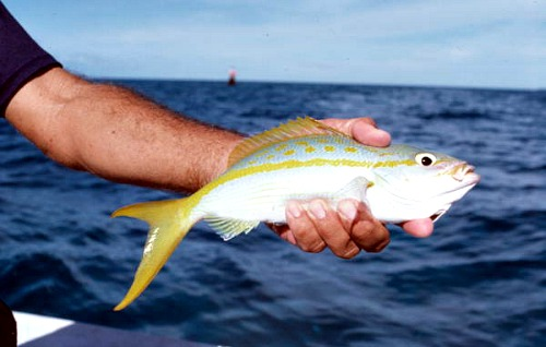 Yellowtail Snapper Are Popular Florida Fish