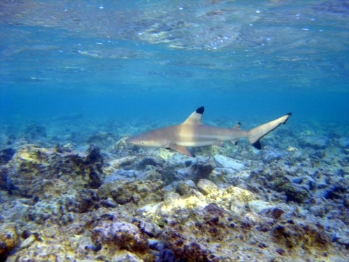 Blacktip Shark in Florida Keys