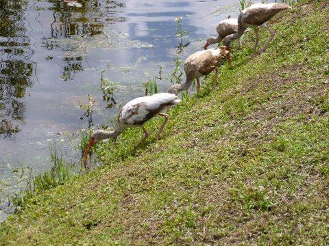 Juvenile Ibises Feeding at the Everglades