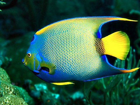 Colorful tropical queen angelfish
