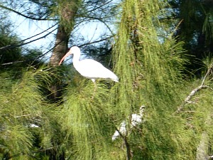 Group of white ibis perched in trees