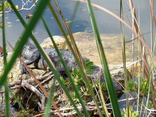 Alligator at Blue Hole At National Key Deer Refuge