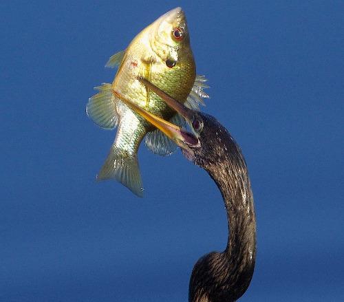 Anhinga Swallowing a Fish