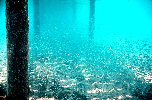 Schooling Bait Fish Under Pier at Sand Key Lighthouse