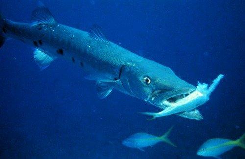 Barracuda Hunting