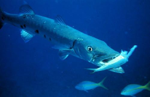 Florida Keys Greater Barracuda Hunting