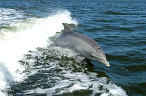 Bottlenose dolphin swimming in boat wake