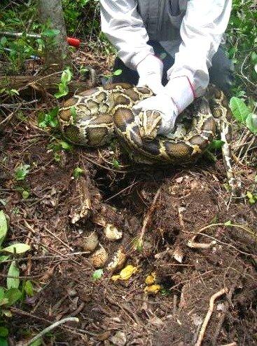 Python on Her Nest