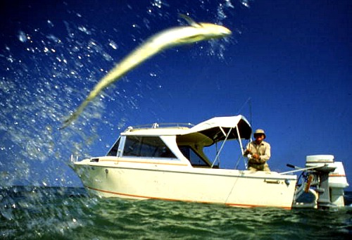Tarpon Leaping into the air