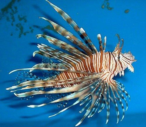 Predatory Lionfish