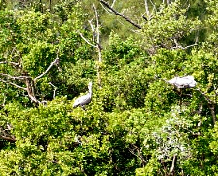 Eco Tour Viewing of Roosting Pelicans in Mangroves