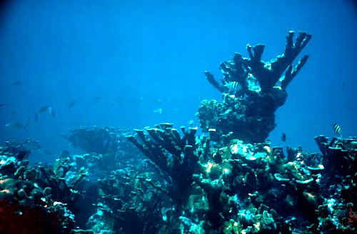 Elkhorn coral is one of the more successful corals for restoration projects