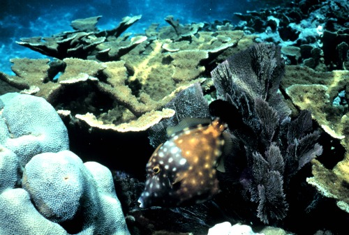Elkhorn coral and White spotted Filefish