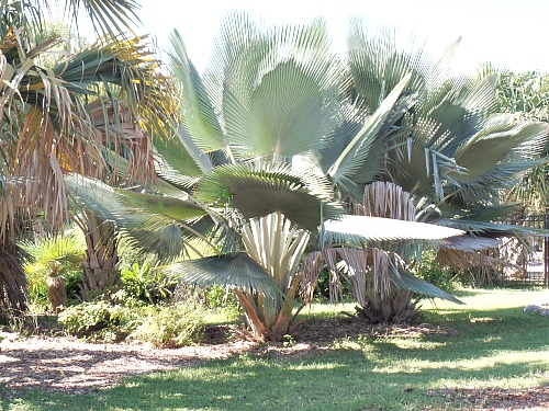 Rare Endangered Cuba Palm At Key West Tropical Forest And Botanical Garden