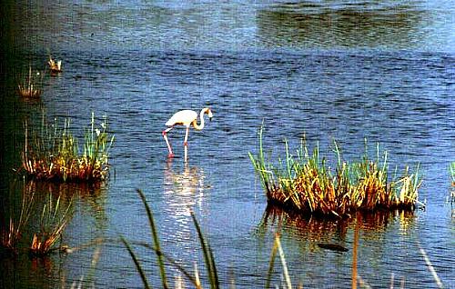 Flamingo wading for food
