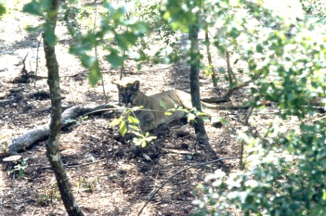 Florida Panther Resting in the Shade