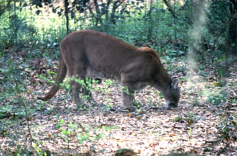 Florida Panther Sniffing the Ground