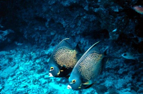 Tropical French Angelfish