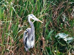 Great Blue Heron Motionless As It Waits for Prey