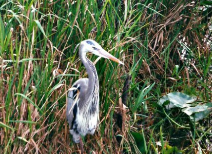 Great Blue Heron Hunting at Everglades