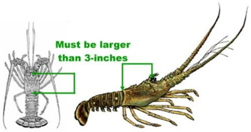 How To Measure Spiny Lobster