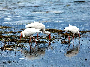 Group of white ibis feeding in swamp