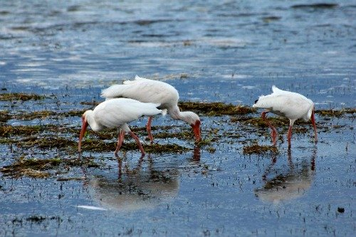 White Ibis Feeding in the Shallows