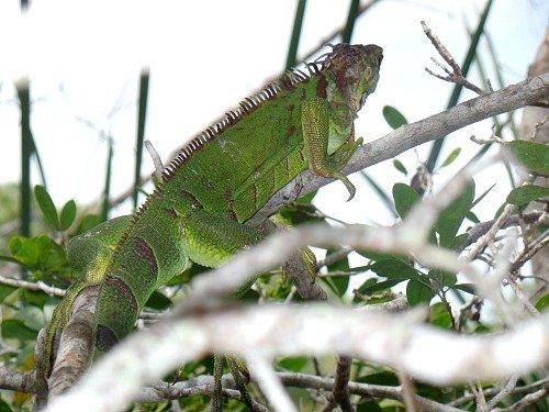 Iguana Are Invasive Species Thriving In Florida Keys