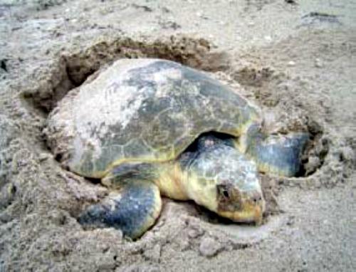 Nesting Kemp's Ridley Turtle