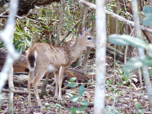 Tiny key deer hiding in the woods