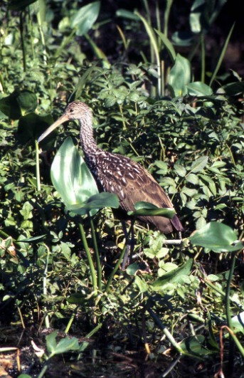 Limpkin Only Breeds in Florida