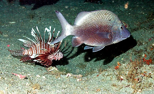 Lionfish Swimming with A Fish